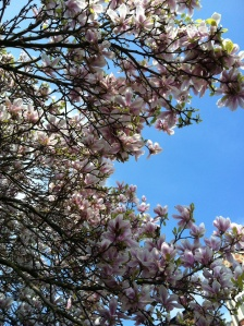 Beautiful magnolia tree on the way from studio to office