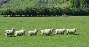 sheep in a line