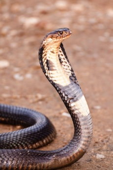 king_cobra_picture