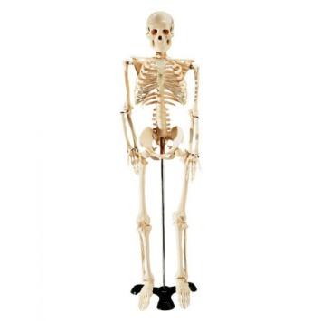 skeleton model.jpg